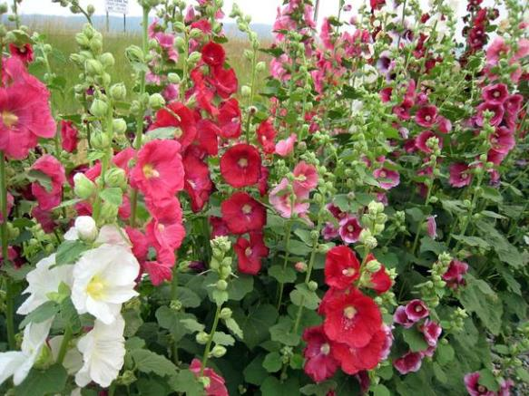 Hollyhocks1