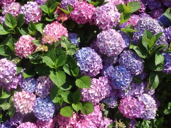 Hydrangeas_bush